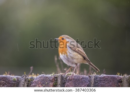 Robin Red Breast (Erithacus rubecula) spotted outdoors in National Botanic Gardens, Dublin, Ireland - stock photo