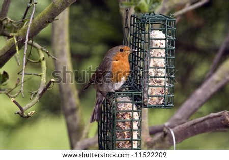 Robin red breast in tree in garden eating nuts. - stock photo
