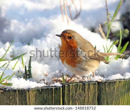 Robin red breast looking for food at wintertime - stock photo