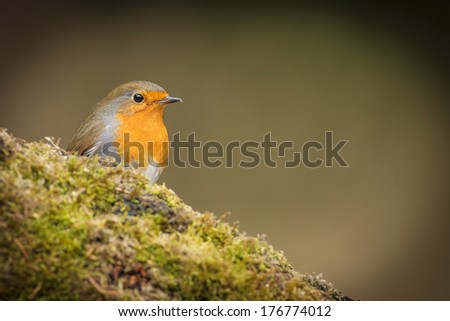 Robin red-breast on green moss