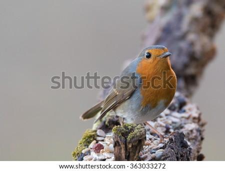 robin redbreast - stock photo