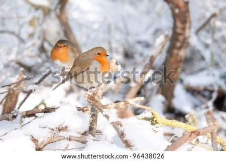 Robin redbreast in snow - stock photo