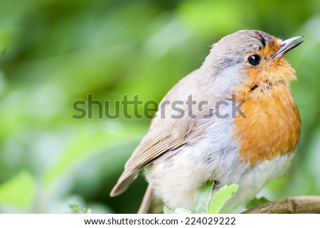 Robin's are a passerine bird and common in the UK