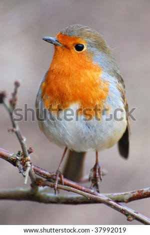 robin sat on branch in woods - stock photo
