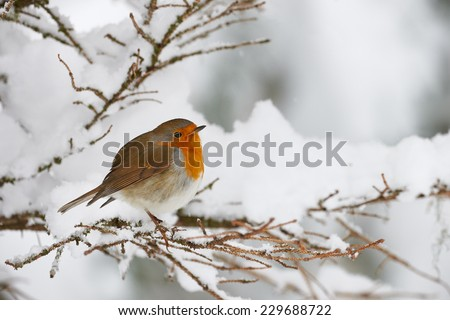Robin shivering in the snow, perched on a small branch - stock photo