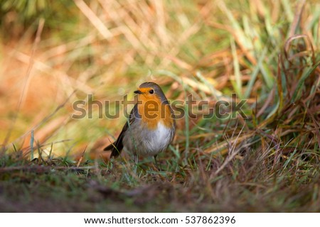 Robin sitting on forest floor, Netherlands