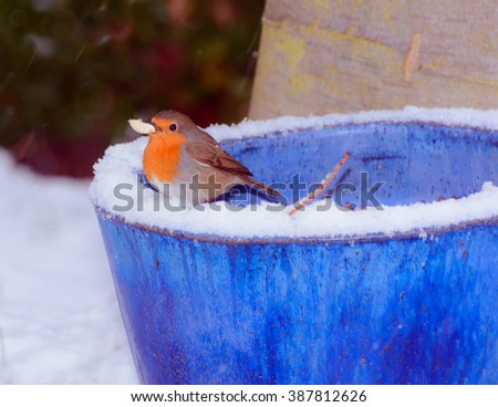 Robin with nut in the snow - stock photo