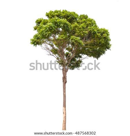 Robinia pseudoacacia. Small green tree isolated on white