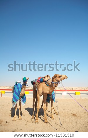 Robot controlled camel racing in the desert of Qatar, Middle East, on a sunny day. Racing camels warming up in the morning sun on the Racetrack