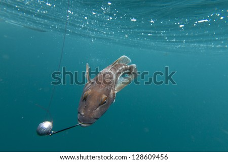 rock cod/fish caught on a fishing hook underwater - stock photo