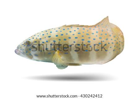 Rock cod fish/grouper fish/tropical fish swimming fish  - stock photo