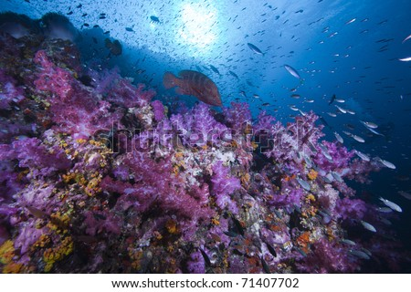 Rock Cod, sun and Soft Coral Reef covered with fish and life in the Indian ocean, Andaman Sea, Thailand. - stock photo