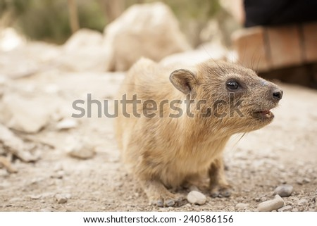 Rock Hyrax standing still on the ground (Procavia capensis) showing teeth. Selective focus.