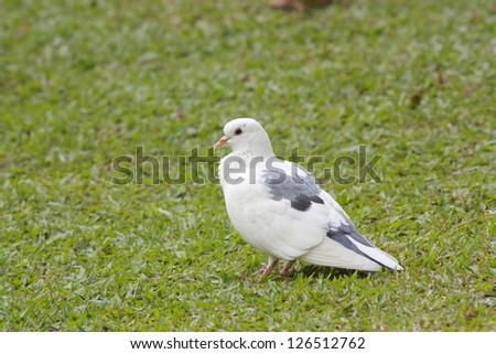 Rock pigeon Rock dove Columba livia - stock photo