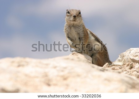 Rock Squirrel inspecting its surroundings