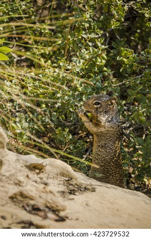 Rock squirrel, which is a large ground squirrel, eating acorns in Zion National Park - stock photo