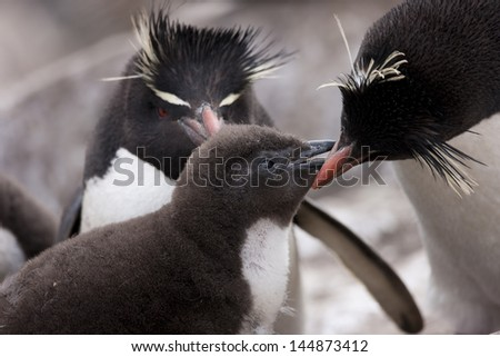 Rockhopper Penguin (Eudyptes chrysocome chrysocome), Western subspecies, a downy chick begging for food from it's parent at a breeding colony on Saunders Island in the Falklands. - stock photo
