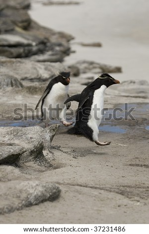 Rockhopper penguin (Eudyptes chrysocome) jumping down the rocks at Saunders Island, Falkland Islands - stock photo