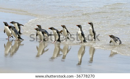 Rockhopper penguins (Eudyptes chrysocome) landing on the beach when returning from a fishing trip at Saunders Island, Falkland Islands - stock photo