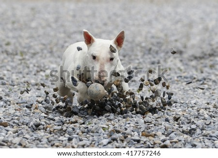 Rocks flying as a bull terrier slides to get the ball - stock photo