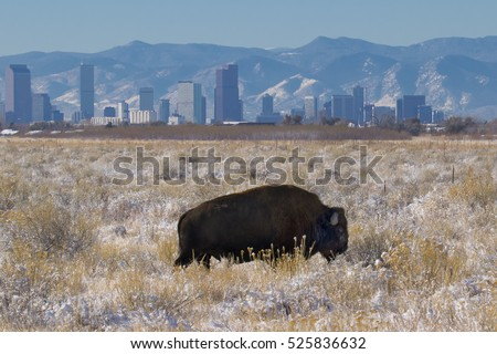 Rocky Mountain Arsenal National Wildlife Refuge near Denver, Colorado - bison with Denver skyline in background