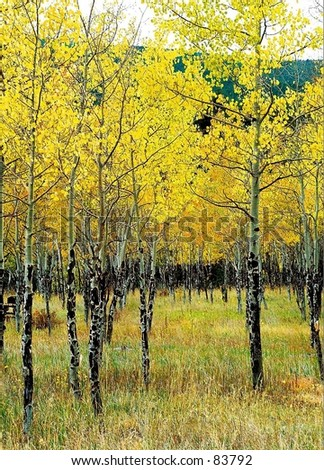 Rocky mountain aspen changing in the fall.