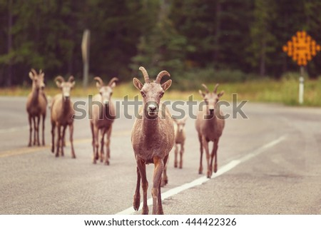 Rocky Mountain Big-Horned Sheep, Banff National Park in Autumn - stock photo