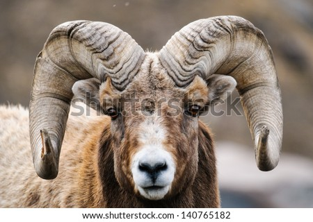 Rocky Mountain Big Horned Sheep in springtime, Alberta Canada - stock photo