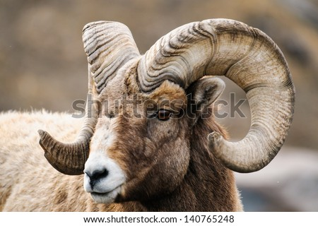 Rocky Mountain Big Horned Sheep in springtime, Alberta Canada