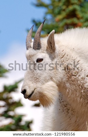 Rocky Mountain goat profile with blue sky and evergreens. - stock photo