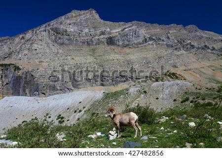 Rocky Mountain Ram Bighorn Sheep landscape Montana - stock photo