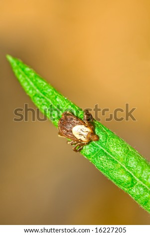 Rocky Mountain Wood Tick, Dermacentor andersoni on Blade of Grass - stock photo