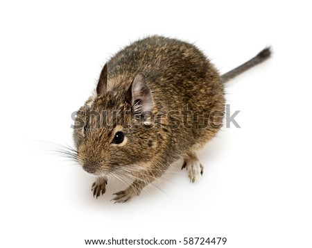 rodent degu on neutral background