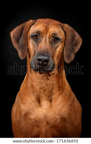 rodeyziysky hound on a black background - stock photo