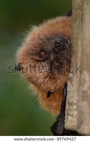 Rodrigues Fruit Bat Peeping - stock photo