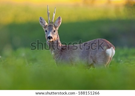 Roe deer buck / Capreolus capreolus / at sunrise standing on the filed, blurred background, horizontal orientation - stock photo