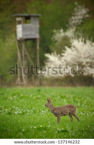 Roe deer buck in long grass with hunters high seat in the background - stock photo