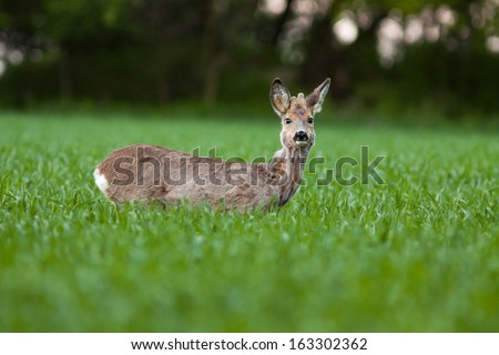 Roe deer buck standing on the field and watching, blurred background, Capreolus capreolus - stock photo