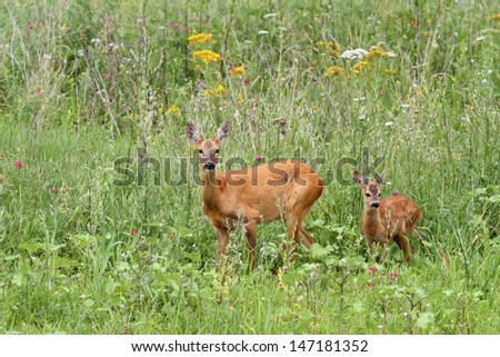 roe deer doe ( capreolus ) and her baby looking at the camera while standing in  the big grass - stock photo