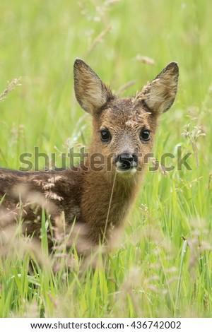 Roe Deer fawn  - Ree kalf - stock photo