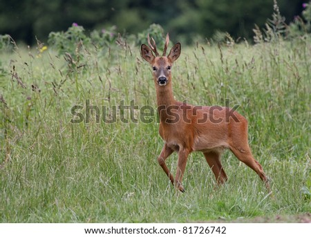 Roe Deer in a field