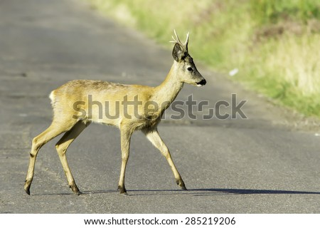 roe deer in natural habitat / Capreolus capreolus - stock photo