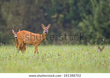 Roe-deer in the wild, in a clearing
