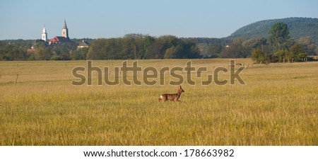 Roe deer on the field with village and forest