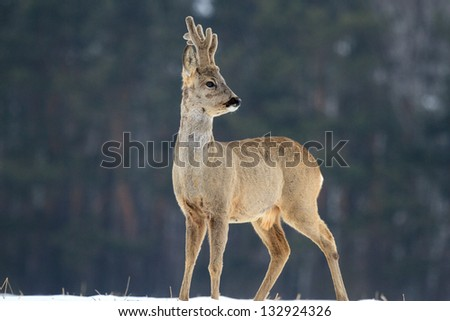 Roe deer over the forest background in sunny day - stock photo