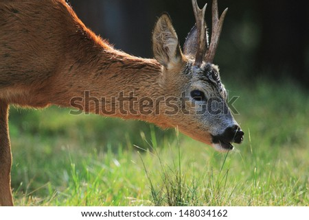 roe deer portrait - stock photo