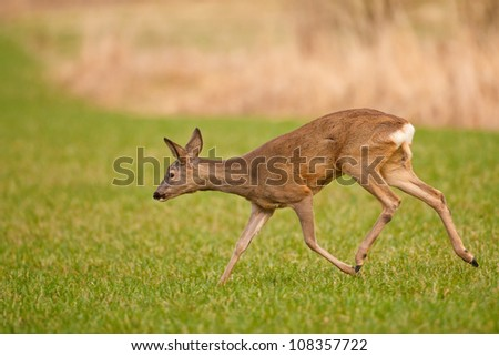 Roe deer running from possible danger