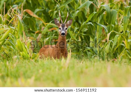 Roe deer standing on the field in front of the corn - stock photo