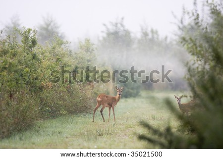 Roe Deer with fawn - stock photo