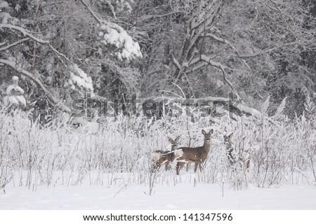 Roe deers in a snowfall - stock photo
